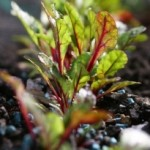 Beetroot Plants - Image credit to Simon Howden